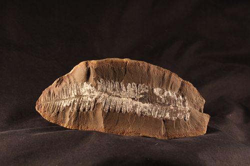 fossil of a fern
