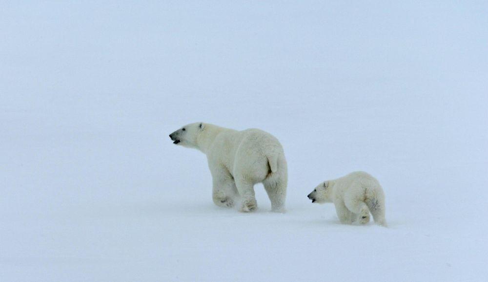 A Baby Polar Bear Grows Up First Grade Reading Passage